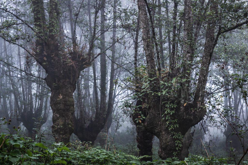Elder trees in Khonoma