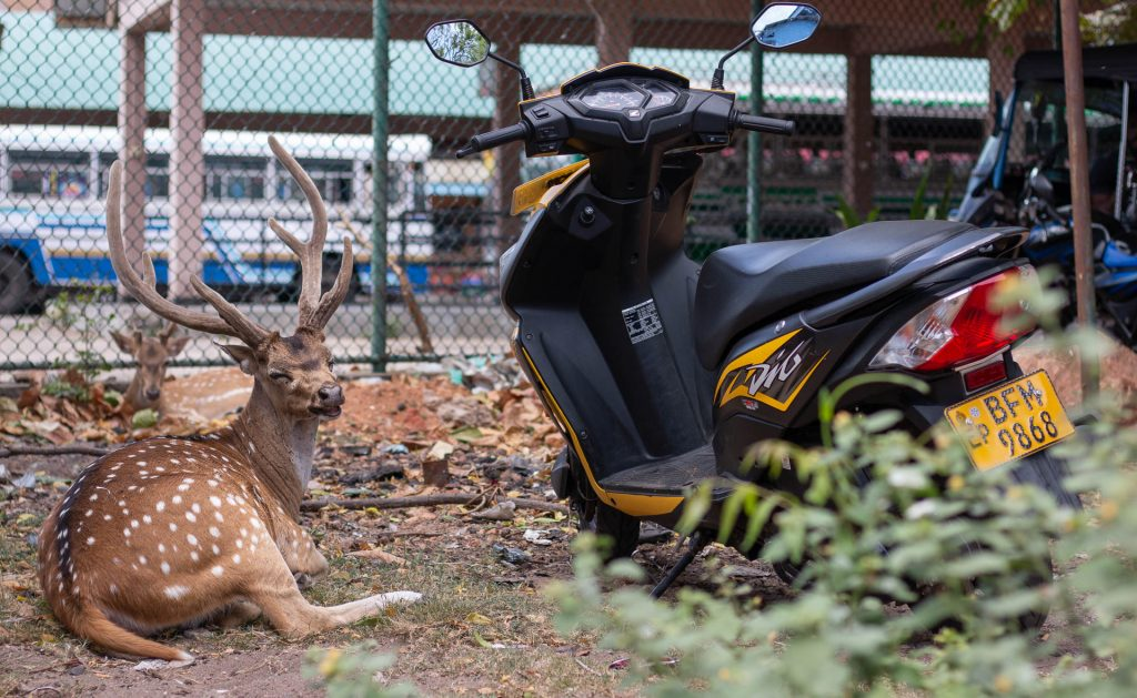 Deer in Trincomalee, Sri Lanka