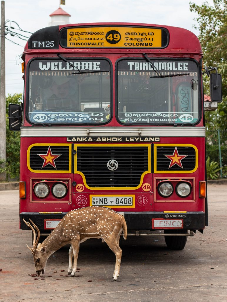 Deer at busstation Trincomalee, Sri Lanka